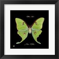 Framed Striking Butterfly IV