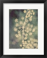 Framed Queen Ann's Lace I