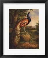 Framed Classic Peacock