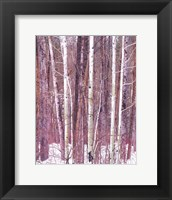 Framed Aspen Grove