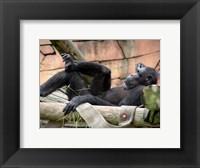 Chimp - Just relaxing Framed Print
