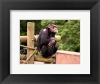 Framed Chimp - The revelation