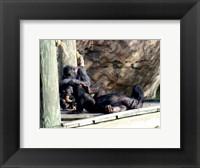 Chimps - Just Chillin Framed Print
