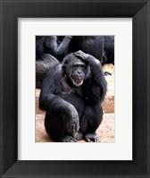 Chimp - Let me think it over Framed Print