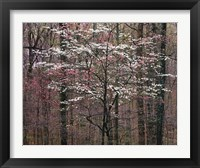 Framed Pink and White Dogwoods, Kentucky