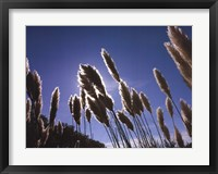 Framed Pampas Grass, Provence