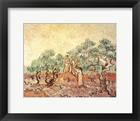 Framed Olive Grove, 1889