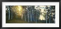 Framed Hillside Birches