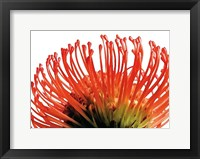 Framed Orange Protea 2