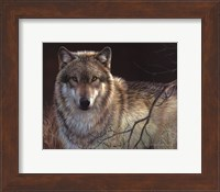 Framed Uninterrupted Stare- Gray Wolf
