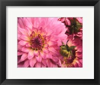 Framed Pink Dahlia