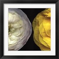 Framed Ranunculus Right