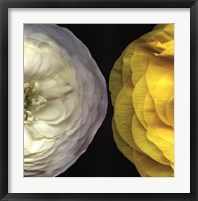 Ranunculus Right Framed Print
