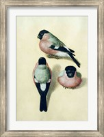 Framed Three studies of a bullfinch