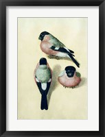 Framed Three studies of a bullfinch