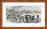 Framed Labour in the Cotton Fields, Hoeing the Young Plants