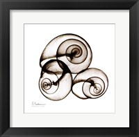 Framed X-ray Snail Shells, Sepia
