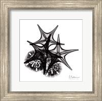 Framed X-ray Starfish & Sand Dollar BW