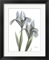 Framed Blue Floral X-ray Iris