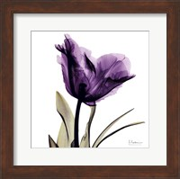 Framed X-ray Royal Purple Parrot Tulip