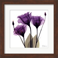 Framed X-ray Royal Purple Gentian