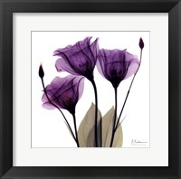 X-ray Royal Purple Gentian Framed Print