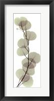 Framed X-ray Eucalypus Branch I