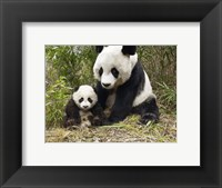 Framed Panda Mother and Cub