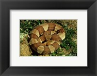 Framed Broad Banded Copperhead Coiled Snake