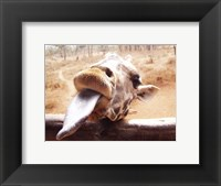 Framed Giraffe Sticking His Tongue Out