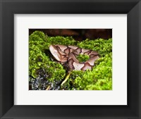 Framed Juvenile Copperhead Snake