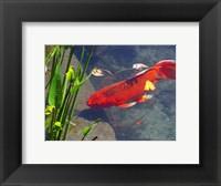 Framed Red Goldfish