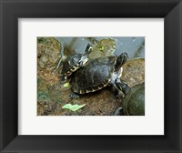 Framed Three Turtles