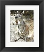 Framed Kangaroo at the Zoo
