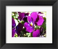Framed Purple Pansy