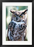 Framed Great Horned Owl Close Up