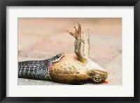 Framed Close-up of a snake eating a frog