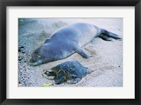 Framed Hawaiian Monk Seal with Green Turtle relaxing on the sand