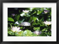 Framed Turtle on a Lily pad, Bahamas
