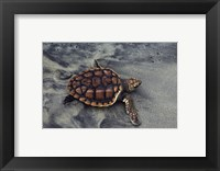 Framed Loggerhead Turtle (Yearling)