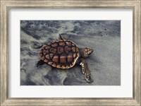Framed Loggerhead Turtle (Yearling)