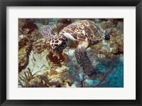 Framed Hawksbill Turtle