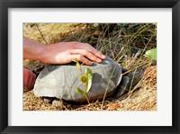 Framed Gopher Tortoise