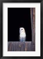 Framed Barn Owl Perched