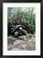 Framed Galapagos Giant Tortoise eating grass