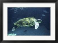 Framed Green Sea Turtle - dark