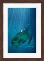 Framed Green Sea Turtle - underwater