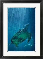 Framed Green Sea Turtle - underwater