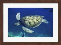 Framed Green Sea Turtle swimming