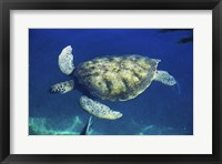 Framed Green Sea Turtle swimming